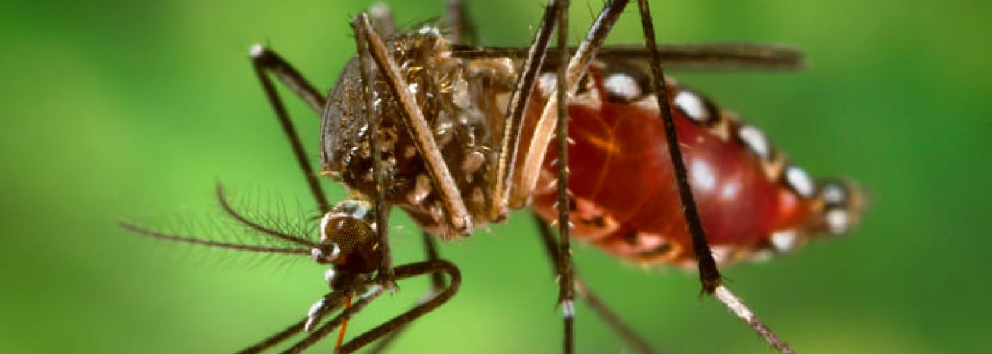 Aedes aegypti mosquitoes carry several tropical diseases, including chikungunya, dengue, Zika, and yellow fever. They are recognized by white markings on their legs. (Image courtesy of CDC/James Gathany.)