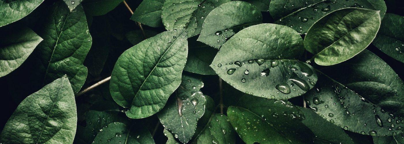 hojas naturaleza rocío
